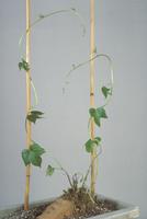接ぎ木(アサガオ穂木とサツマイモ台木)2