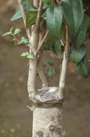 接ぎ木(ツバキ)