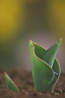 発芽(チューリップ)