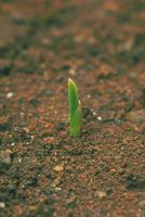 発芽(トウモロコシ)2