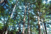 赤沢自然休養林 23018056210| 写真素材・ストックフォト・画像・イラスト素材|アマナイメージズ
