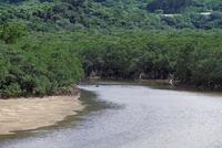 吹通川のヒルギ群落