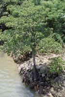 宮良川のヒルギ林 23018058683| 写真素材・ストックフォト・画像・イラスト素材|アマナイメージズ