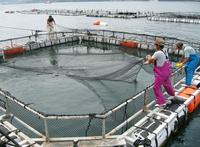 高知県・宿毛湾で育てられた夏ブリの養殖いけす