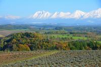 雪化粧した十勝岳連峰とラベンダー畑 23023001144| 写真素材・ストックフォト・画像・イラスト素材|アマナイメージズ