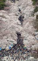 大勢の花見客でにぎわう上野公園