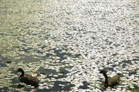 湖を泳ぐ鴨