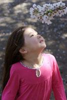 桜の花が咲いた枝を見つめる女の子