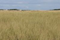 ケープコッドの草原