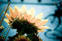 陽を浴びるヒマワリ 24011000073| 写真素材・ストックフォト・画像・イラスト素材|アマナイメージズ