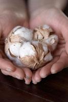 手のひらにのる綿の実