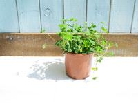 クローバーの鉢植え
