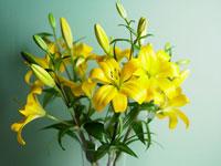 黄色の百合の花々