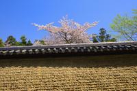 満開の桜と土塀 25003005836| 写真素材・ストックフォト・画像・イラスト素材|アマナイメージズ