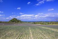 らっきょう畑と青空