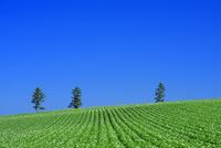 美瑛のジャガイモ畑 25003007966| 写真素材・ストックフォト・画像・イラスト素材|アマナイメージズ