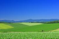 美瑛のジャガイモ畑 25003008014| 写真素材・ストックフォト・画像・イラスト素材|アマナイメージズ