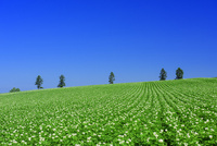 美瑛のジャガイモ畑 25003008016| 写真素材・ストックフォト・画像・イラスト素材|アマナイメージズ