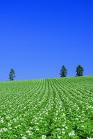美瑛のジャガイモ畑 25003008017| 写真素材・ストックフォト・画像・イラスト素材|アマナイメージズ