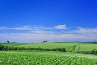 美瑛のジャガイモ畑 25003008164| 写真素材・ストックフォト・画像・イラスト素材|アマナイメージズ