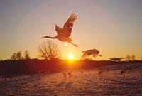 朝日と飛ぶタンチョウ