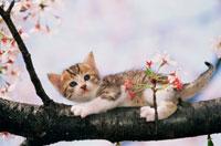 桜の木の上の仔ねこ