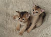 2匹のアビシニアンの仔ネコ