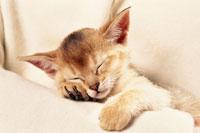 眠るアビシニアンの仔ネコ