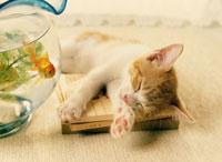 金魚鉢と眠る仔ネコ
