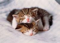 二匹の眠る仔ネコ