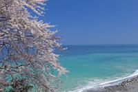 桜と日本海 25011012872| 写真素材・ストックフォト・画像・イラスト素材|アマナイメージズ