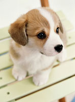 コーギーの仔犬 25023061351| 写真素材・ストックフォト・画像・イラスト素材|アマナイメージズ