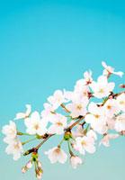 桜と青空 25023067156  写真素材・ストックフォト・画像・イラスト素材 アマナイメージズ