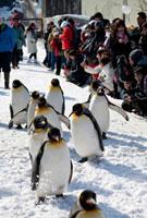 旭山動物園 ペンギンの散歩