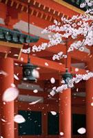 平安神宮回廊と桜 25023068114| 写真素材・ストックフォト・画像・イラスト素材|アマナイメージズ