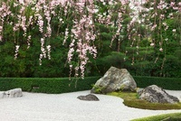 桜と退蔵院の石庭
