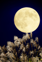 月とススキ 25023073026| 写真素材・ストックフォト・画像・イラスト素材|アマナイメージズ