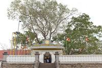 スリーマハー菩提樹