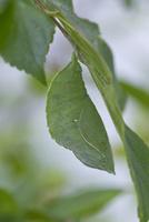 オオムラサキ 蛹