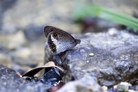 リュウキュウウラナミジャノメ 25037000776| 写真素材・ストックフォト・画像・イラスト素材|アマナイメージズ