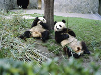 パンダ保護センターにて