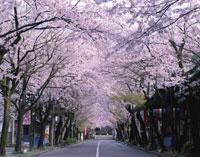 桜咲く華厳寺参道