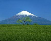 茶畑と富士山 富士市 4月