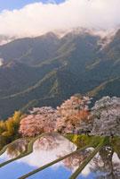 朝の三多気の桜 25041024101| 写真素材・ストックフォト・画像・イラスト素材|アマナイメージズ