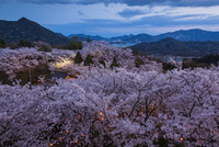 夜の開山公園の桜と大三島橋