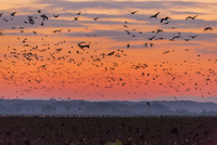 雁と伊豆沼の夕景