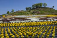 ビオラ咲く世羅ゆり園 25041035649| 写真素材・ストックフォト・画像・イラスト素材|アマナイメージズ