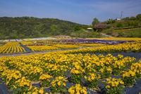 ビオラ咲く世羅ゆり園 25041035650| 写真素材・ストックフォト・画像・イラスト素材|アマナイメージズ