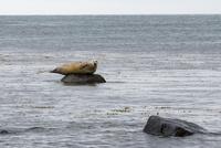 アルトナルスターピの海岸のアザラシ