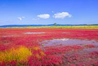 能取湖のサンゴ草 25041036228| 写真素材・ストックフォト・画像・イラスト素材|アマナイメージズ